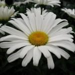 Leucanthemum (Shasta Daisy) - Amazing Daisies Daisy May