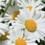 Leucanthemum (Shasta Daisy) - Superbum Silver Princess