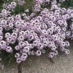 Lobularia - Blushing Princess