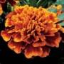 Marigold - French - Janie Flame