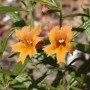 Monkey Flower (Mimulus) - Curious Orange