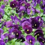 Pansy - Matrix® Purple