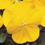 Pansy - Matrix® Yellow