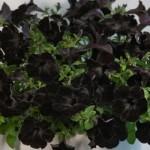 Petunia - Crazytunia® Black Mamba
