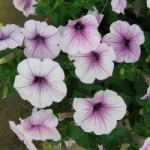 Petunia - Easy Wave® Plum Vein