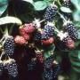 Chester Thornless Blackberry