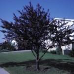 Purpleleaf Sand Cherry Tree
