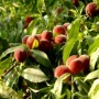 Peach - Reliance
