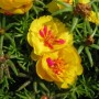 Portulaca - Happy Hour Series