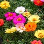 Portulaca - Happy Hour Mix