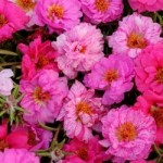 Portulaca - Happy Hour Mix Pink Passion