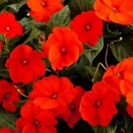 Sunpatiens® - Compact Electric Orange