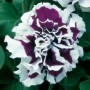 Petunia - Pirouette Purple