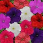 Petunia - Pretty Flora Mix