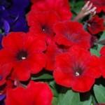 Petunia - Pretty Flora Red