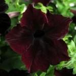 Petunia - Sophistica™ Blackberry