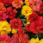 Portulaca - Happy Hour Mix Tropical
