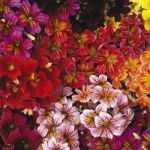 Salpiglossis (Trumpet Flower) - Royale Mix