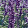 Salvia farinacea - Evolution® Violet Blue