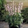 Salvia coccinea - Summer Jewel Pink