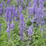 Salvia farinacea - Victoria Blue