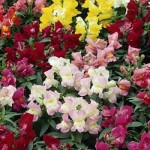 Snapdragon - Montego™ Mix
