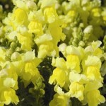 Snapdragon - Montego™ Yellow