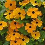 Thunbergia - Susie Orange with Eye