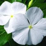 Vinca - Cora® White