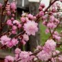 Almond - Pink Flowering (Prunus Glandulosa)