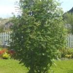 Ash - European Mountain (Sorbus aucuparia)