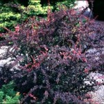 Barberry - Rose Glow