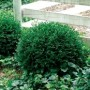 Boxwood - Chicago Land