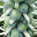 Brussel Sprouts - Long Island Green
