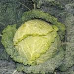 Cabbage - Savoy Blue