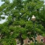 Coffee Tree - Kentucky
