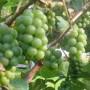Elvira Grapes