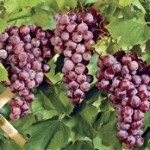 Reliance Seedless Grapes