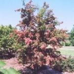 Hawthorn - Crimson Cloud
