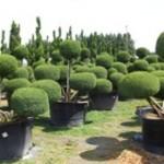 Juniper - Topiary