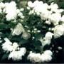 Mockorange - Snowbelle