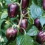 Pepper - Purple Beauty
