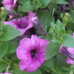 Tips for Petunias