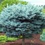 Spruce - Dwarf Globe on Standard