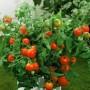 Tomato - Better Bush