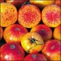Tomato - Hillbilly