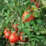 Tomato - Mountain Fresh Plus
