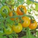 Tomato - Sun Sugar