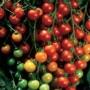 Tomato - Sweet 100