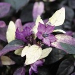 Ornamental Peppers - Purple Flash